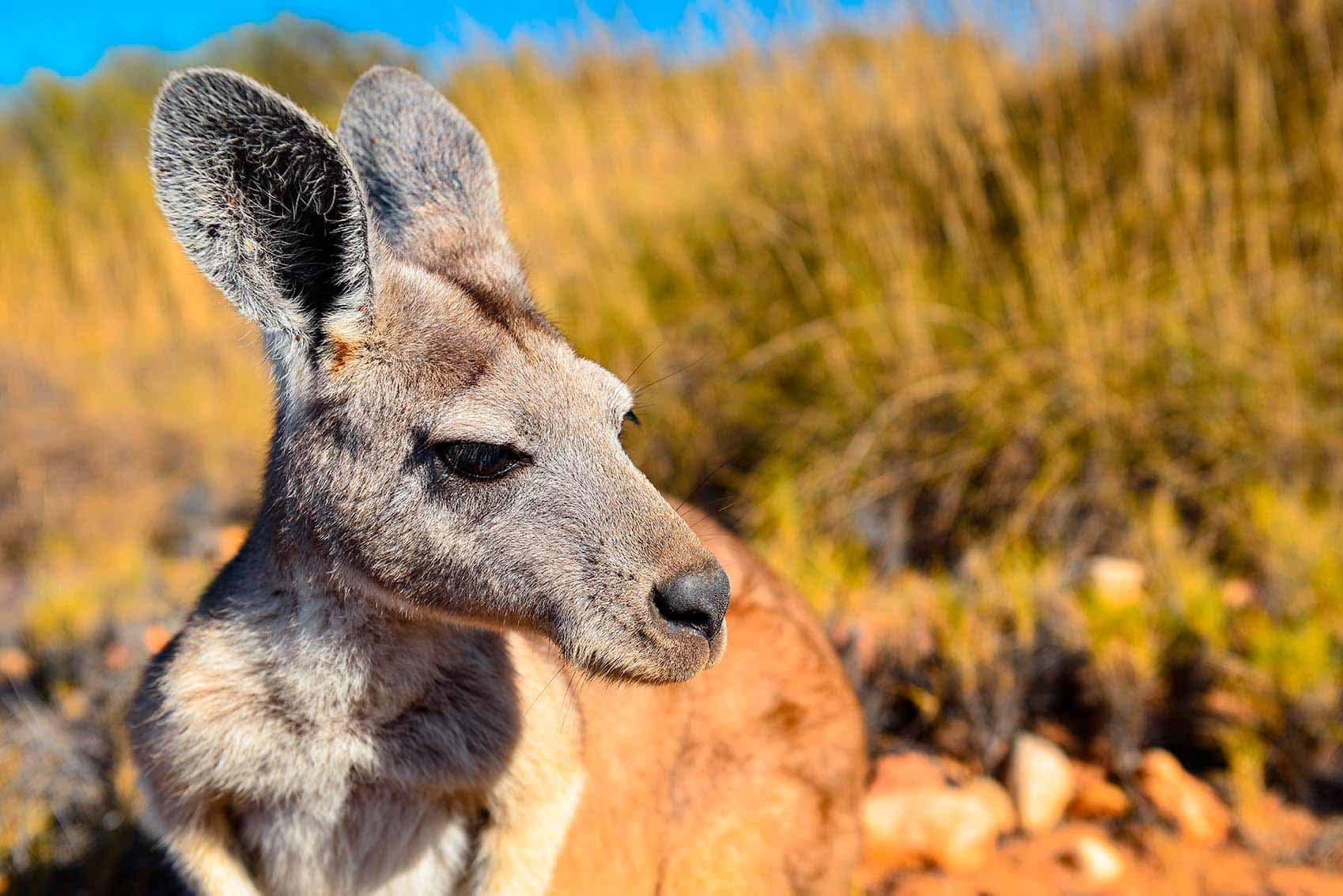 robin favier australia australie kangaroo kangourou animaux animals nature sauvage wildlife outback bush