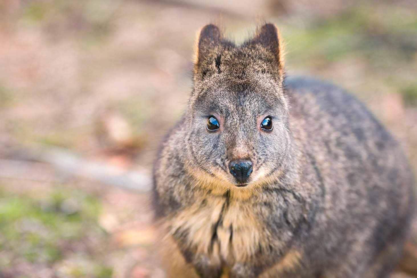 pademelon marsupial thylogale australie robin favier kangaroo australia tasmania wild ecology animal animaux earth nature