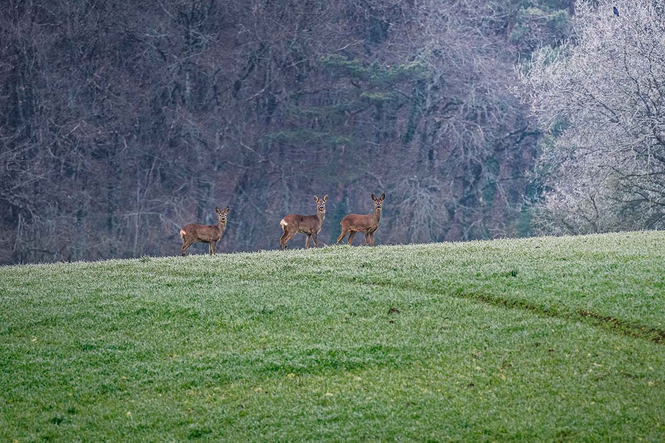 biche chevreuils sologne france robin favier chasse automne france wild animaux animals nature earth