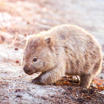 wombat robin favier photogrphies marsupial tasmania tasmanie australia australie nature wild wildlife sunset beach animals animaux sauvage nature earth andémique