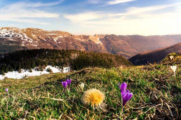 crocus Iridaceae fleur printemps cret au merle jura ain pays de gex valserine france 01 montagne sunset coucher de soleil lumière douce herbe foret montsjura station ski
