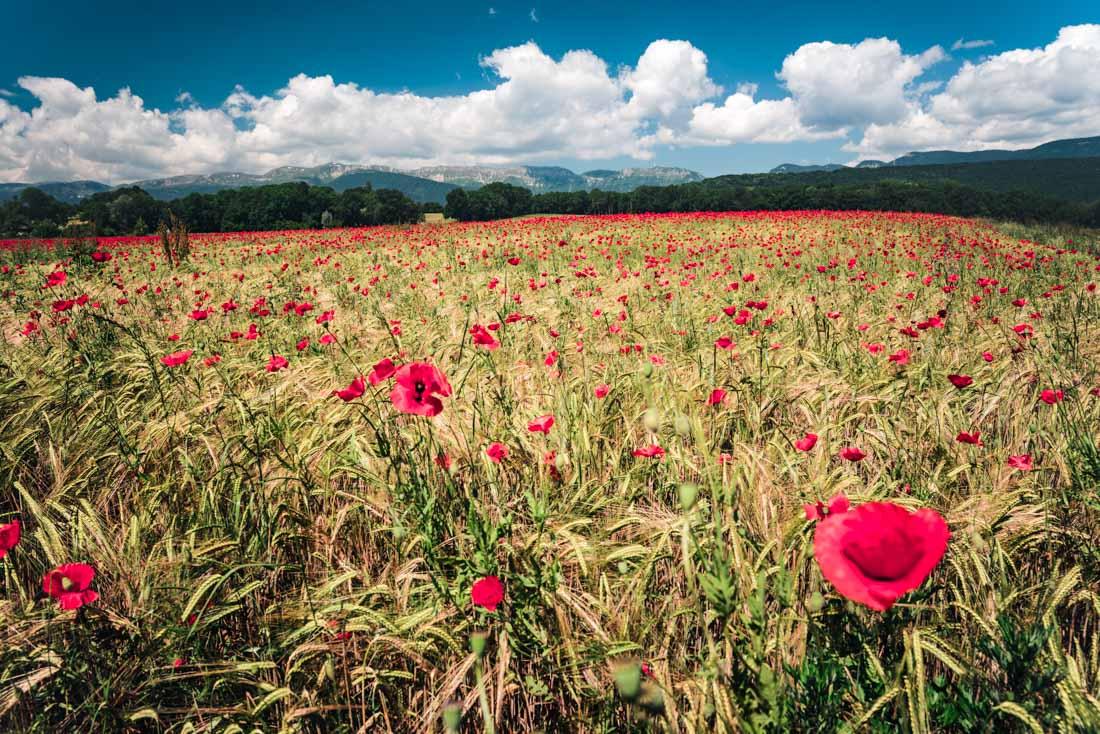 coquelicots Grilly blé champs pays de gex jura ain 01 france rhone alpes été summer fleur