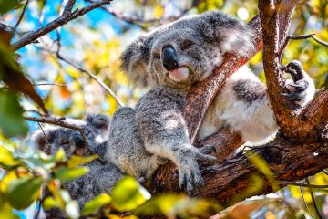 robin favier koala koalas animals animaux pvt voyage australie australia queensland wildlife andemique nature ecology ecologie